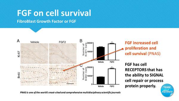 laminine cell proliferation