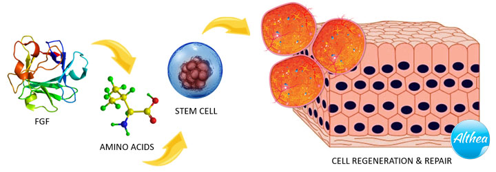 how fgf stem cells work